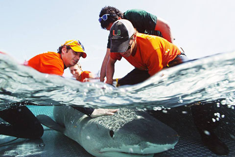 Dr Neil Hammerschlag doing shark research